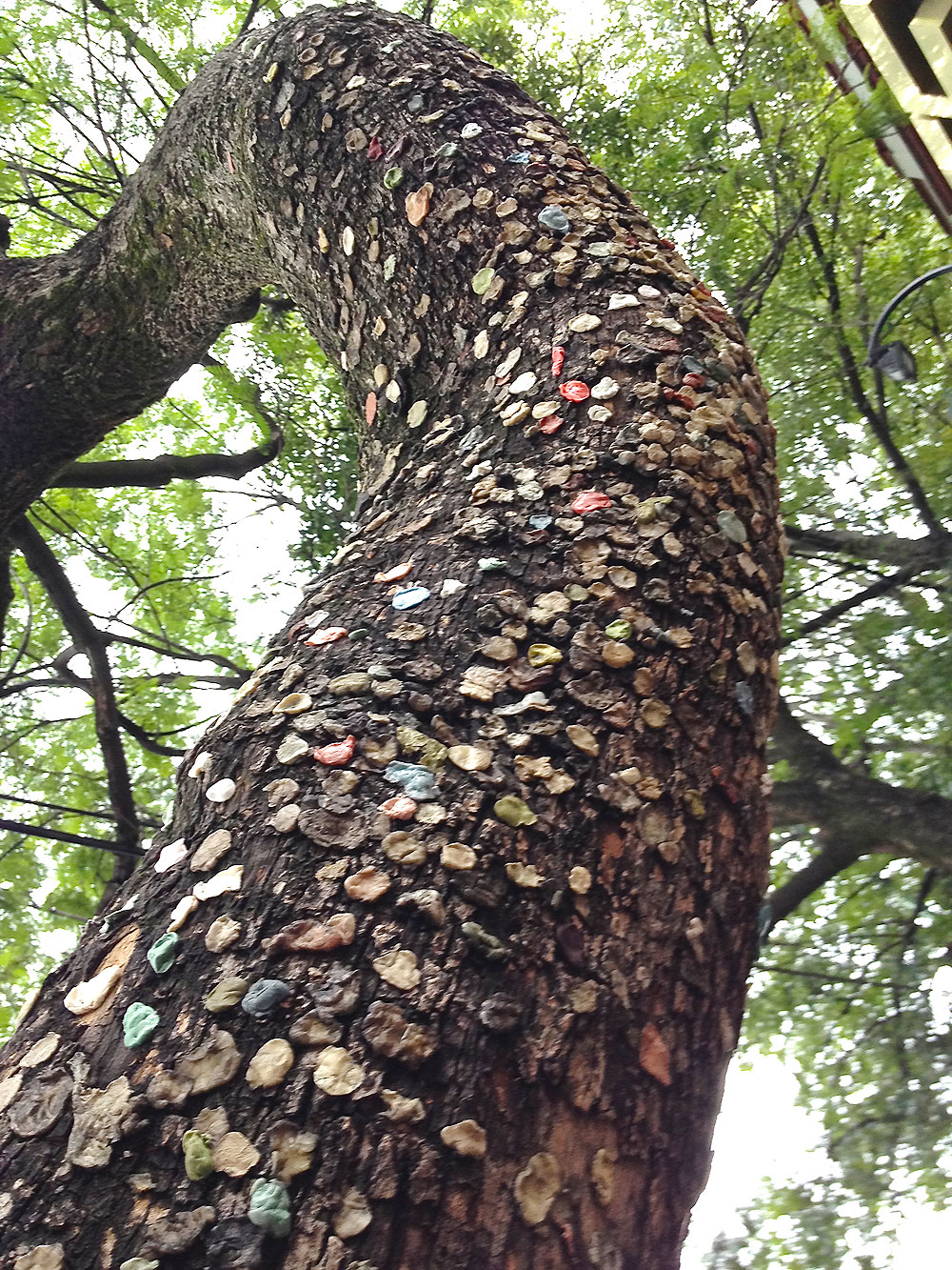 jewinggumtree