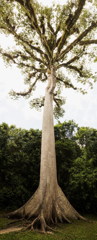 Tikal_9_Mayan Tree