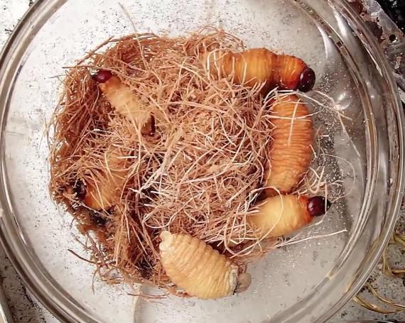 Larva Dish