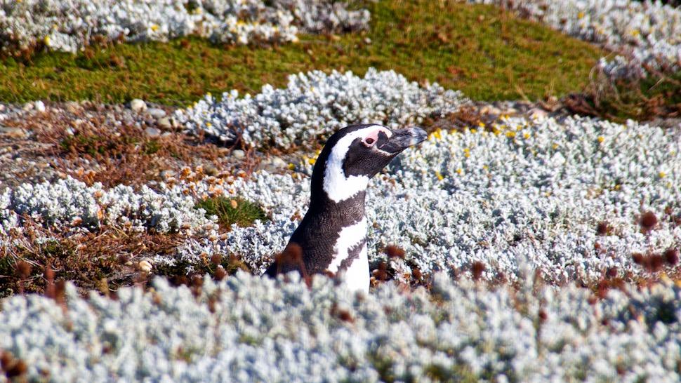 Pinguinera_1_IMG_8477
