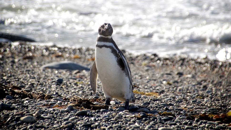 Pinguinera_2__MG_8493